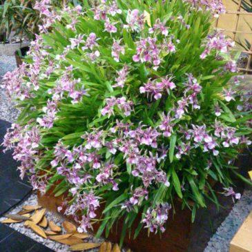 Exposição de orquídeas no bairro da Liberdade