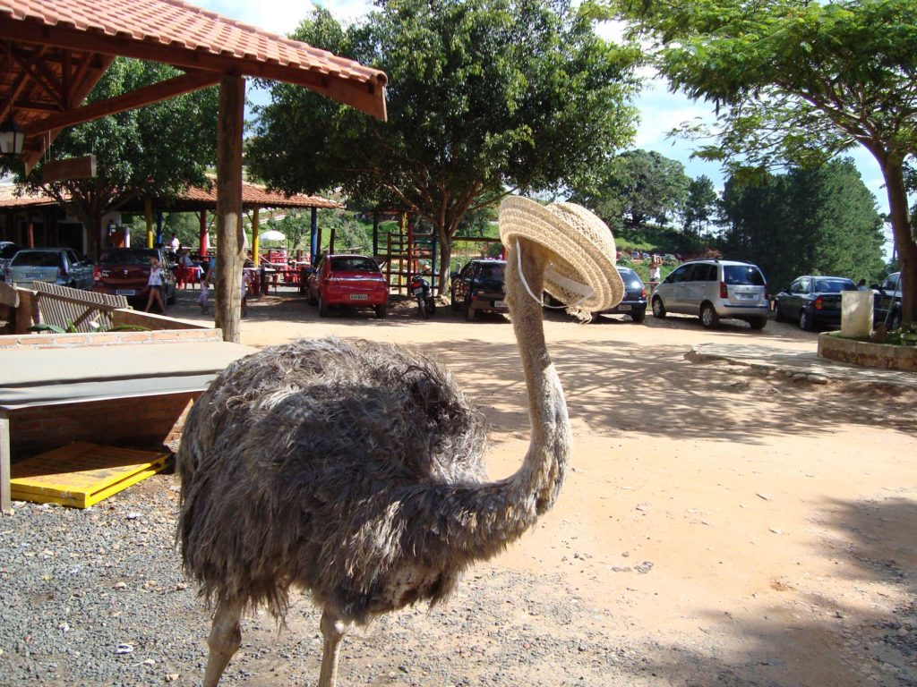 Avestruz - Fazendinha - Serra Negra