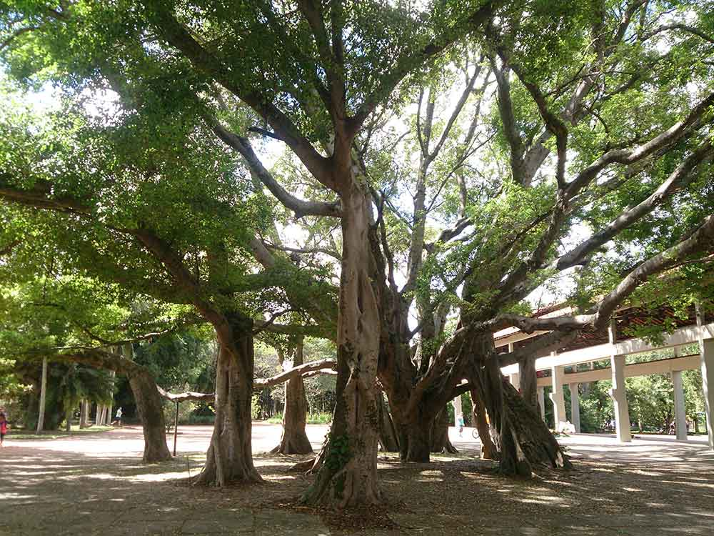 Árvore Gigante - Parque do Ibirapuera