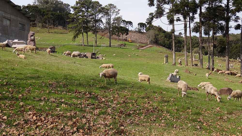 Ovelhas no Caminhos de Pedra
