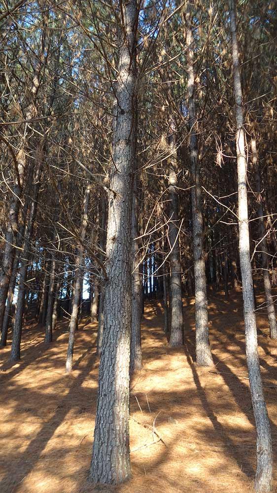 Floresta de Pinheiros - Fazenda dos Venâncios