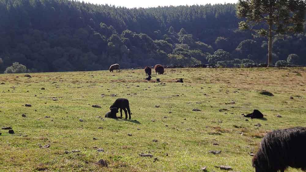 Ovelhas na Fazenda dos Venâncios - Jaquirana