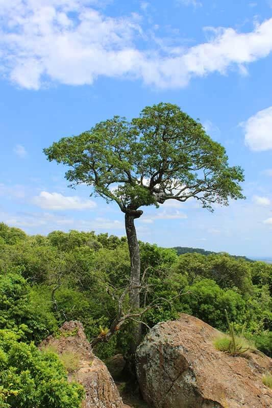 Árvore Chama de Bonsai Gigante - Trilha da Pedra Branca